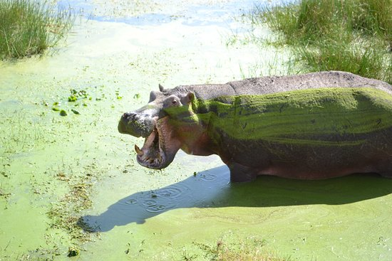 Amboseli National Park, Kenya: Big ol' hippo