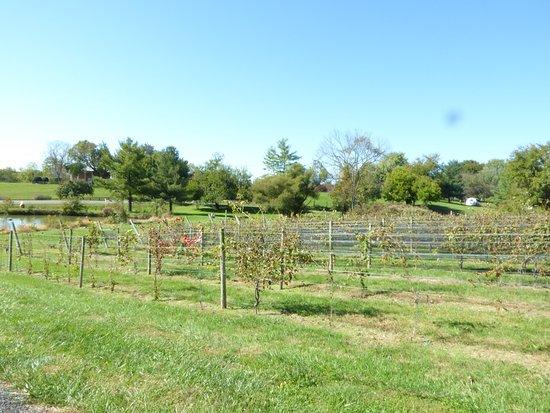 Purcellville, VA: Vines