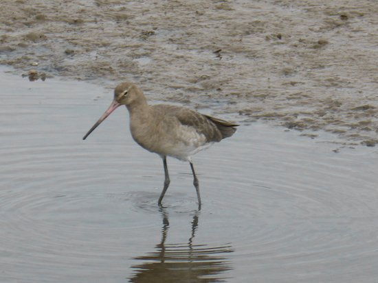 Titchwell, UK: One of the many birds - Curlew