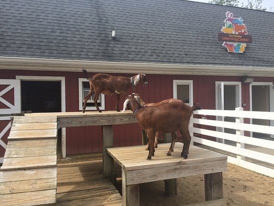 Cosley Zoo: Goats on their perch