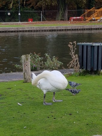 Kennet & Avon Canal: Swans on the river bank