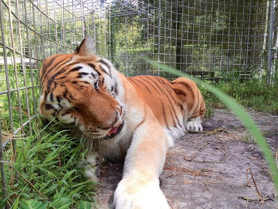 Spring Hill, FL: Close up of the tiger which the guide took using my cell phone.