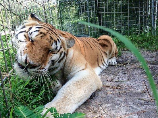 Spring Hill, FL: Tiger close up.