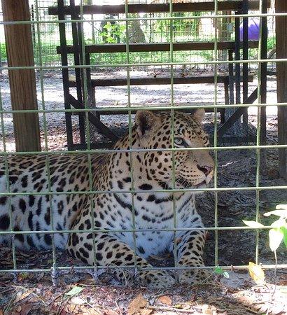 Spring Hill, FL: Fat leopard.