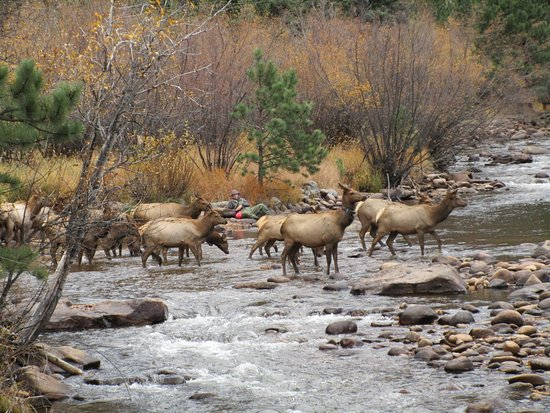 Paradise on the River: The bull elk's herd that crossed before him. Note the fisherman behind the elk.