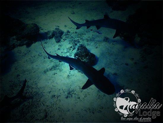 Waya Lailai, فيجي: Sharks Snorkelling