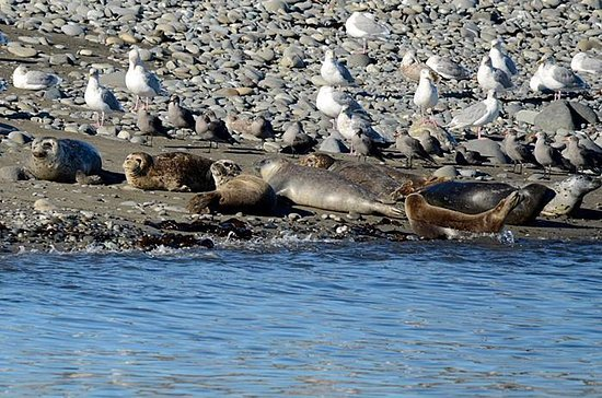 Port Angeles, WA: Seals and gulls - Taken with 500 mm lens