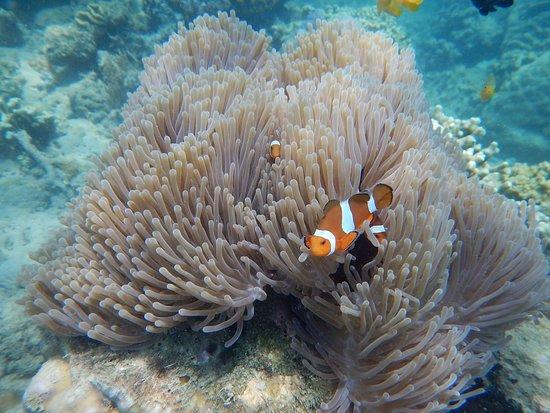 Desa Sekotong Barat, Indonesia: clown fish