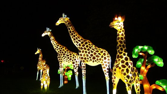 china lights giraffe lanterns picture of boerner botanical