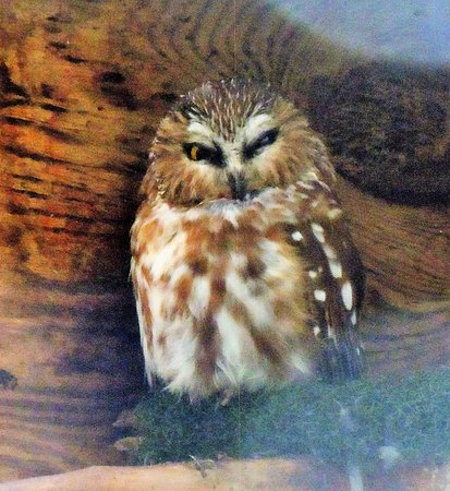 Cascades Raptor Center: northern saw-whet owl