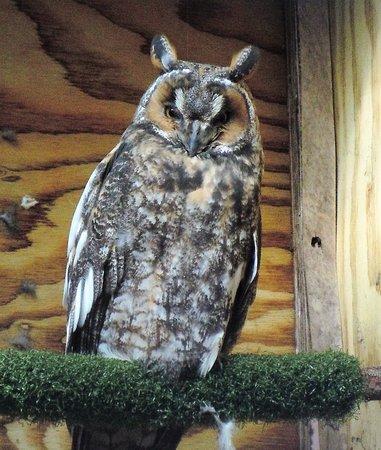 Eugene, Oregón: long-eared owl