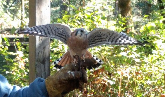 Cascades Raptor Center: kestral stretching his wings