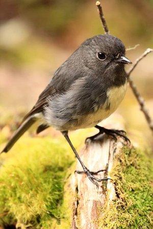 Queenstown, Nowa Zelandia: A mountain robin on the Routeburn Trail