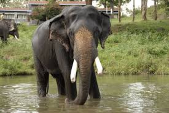 Nilgiri, อินเดีย: Elephants likes spend time in water