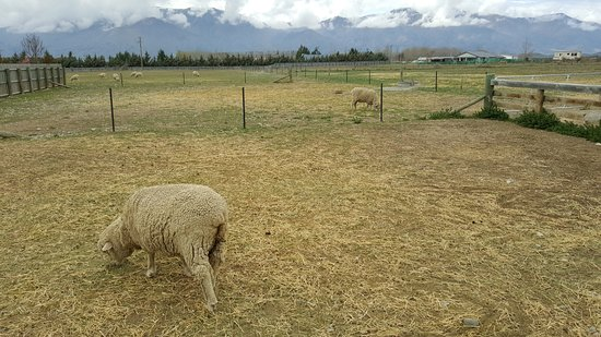 Omarama, New Zealand: The Wrinkly Ram