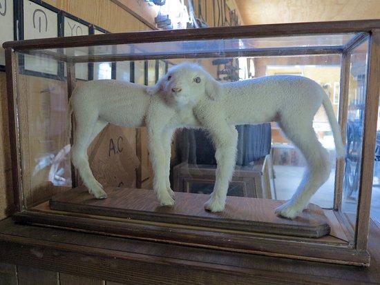 Laws Railroad Museum: Siamese twin lambs