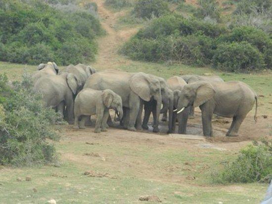 พอร์ตเอลิซาเบท, แอฟริกาใต้: elephants in Addo