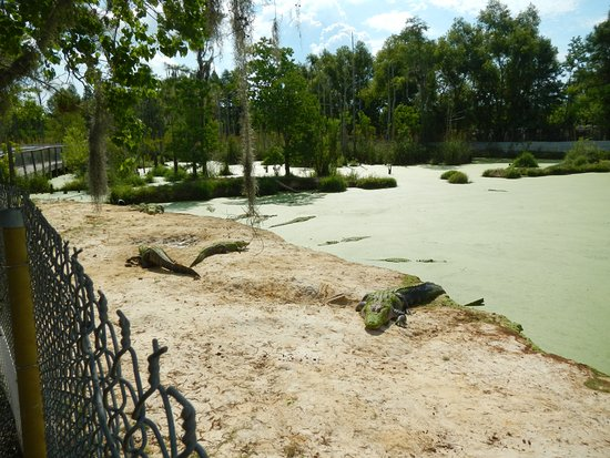 Moss Point, MS: gators in a natual habitat