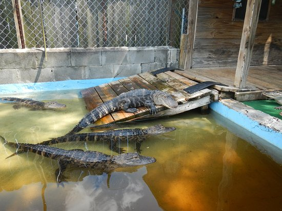 Moss Point, MS: smaller gators in a controlled environment