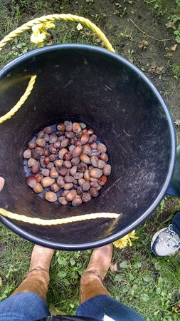 Okanagan Valley, Canada: Picking my hazelnuts