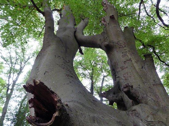 Loughton, UK: Magnifique arbre de la forêt du Sussex