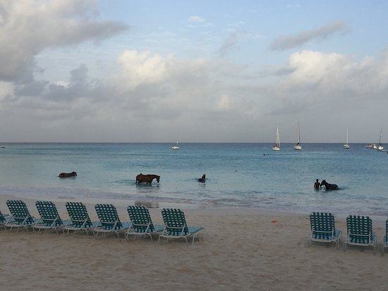Radisson Aquatica Resort Barbados: Horses bathing in the morning-have to get up EARLY to see this, but it's worth it