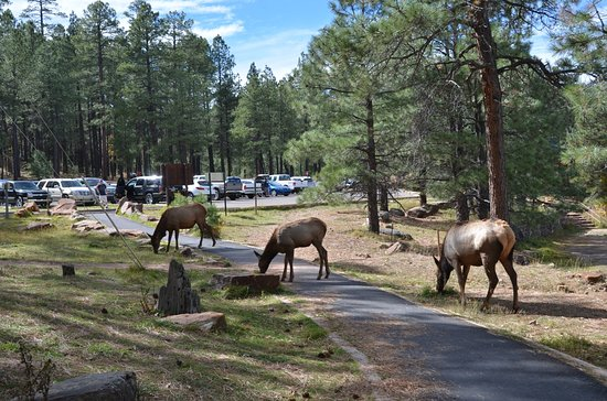 Payson, AZ: Elk Crossing the foot trail near woods canyon lake