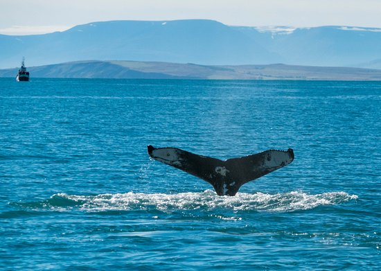 Dalvik, Iceland: Whale Sighting
