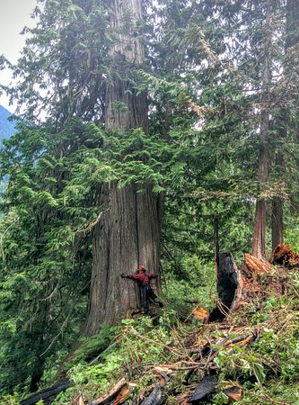 Giant Cedars Boardwalk Trail: Giant Cedar