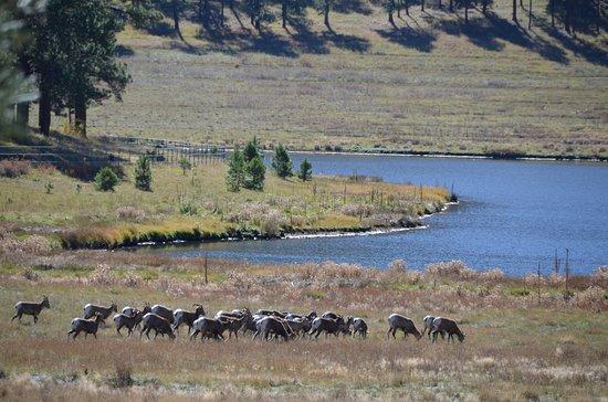 Greer, AZ: Big Horn Sheep going for a drink.