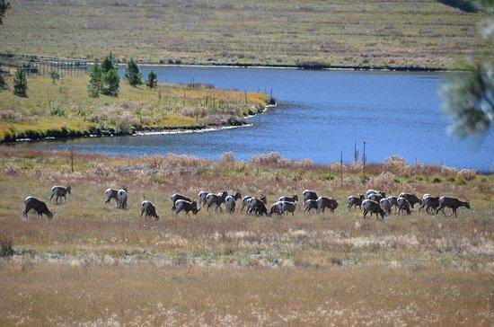 30 or so Bigh Horn Sheep near Greer, AZ