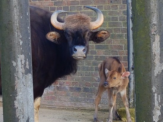 Dunstable, UK: Yak and Baby