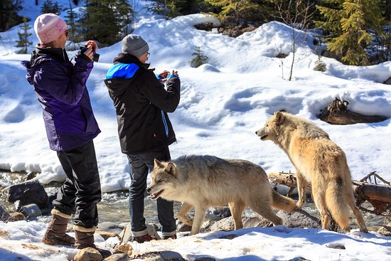 Goleen, Canadá: Walk with wolves in Golden BC