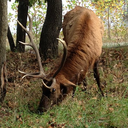 "Valley Park, MO: ""Lone"" Elk"