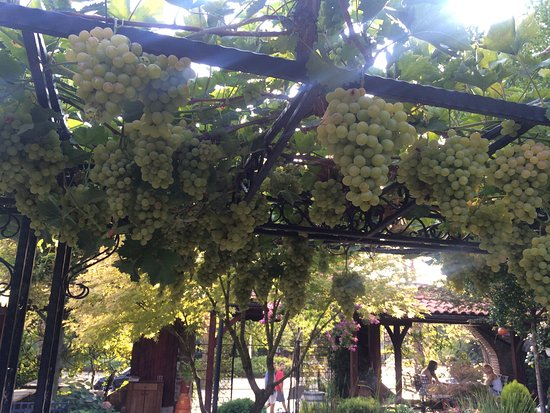 Hissarya, Bulgarije: These are the grapevines trained on a massive trellis system, grapes hanging all over;-)