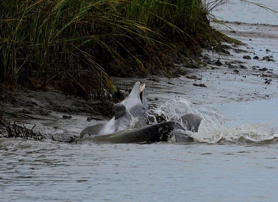 Fernandina Beach, FL: Dolfin catching a fish allmost on the riverbank, then rolling back into deeper water