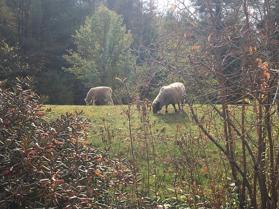 Golden Stage Inn Bed and Breakfast: The inn sheep breakfasting