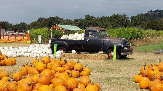Marble Falls, TX: white pumpkins!