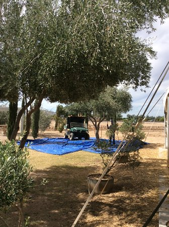 Queen Creek, AZ: Harvesting olives