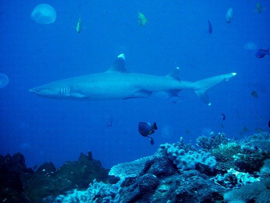 Rakiraki, Fiyi: Whitetip shark