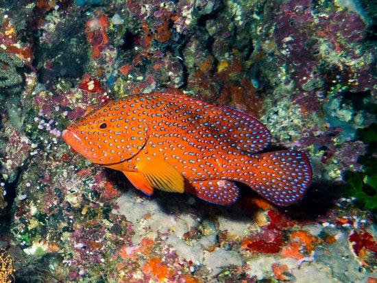 Rakiraki, Fiyi: Reef Grouper