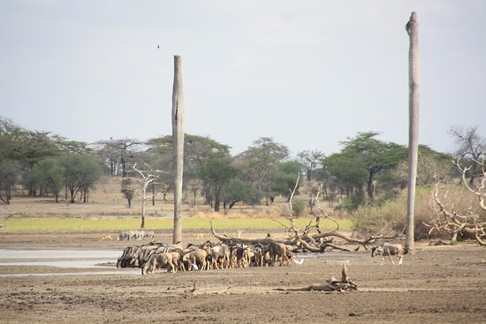 Lindi Region, Tanzania: Wildebeest drinking at Lake Manze