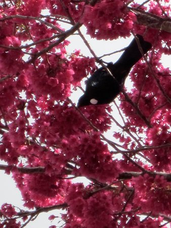 Epsom, Neuseeland: A tuis making the most of the flowering cherry trees on the road leading to Eden Garden.