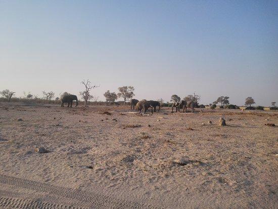Camp Savuti: Male elephants