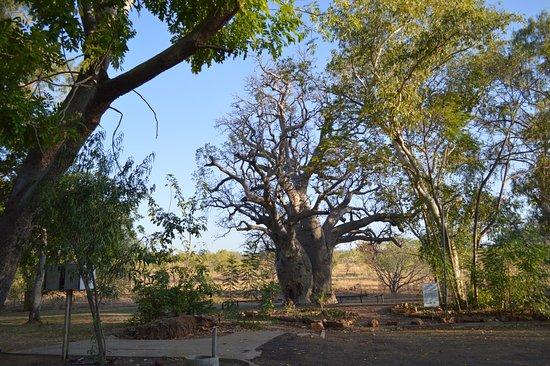 Wyndham Caravan Park: 2000 yrs old tree