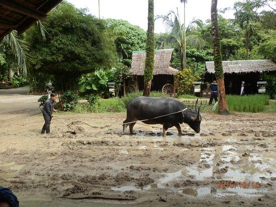Chalong, Tailandia: Water buffalo ploughing a rice field