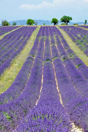 Oppede, Frankrike: lavender fields in July