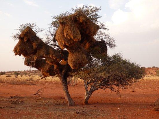 Windhoek, Namibia: Baum mit Siedelweber Nestern