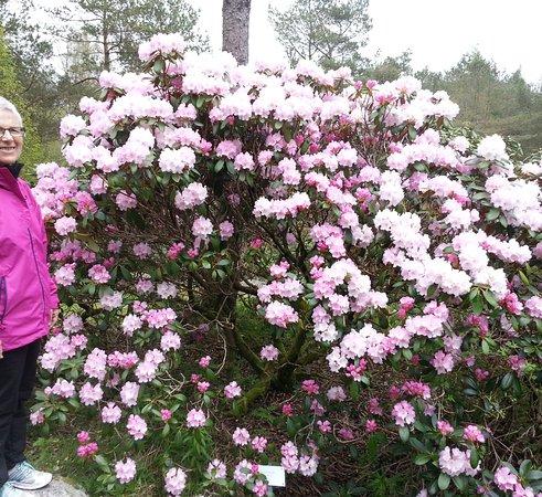 Sandnes, Noruega: Hudreds of different Rhododendron i Rogaland Arboret