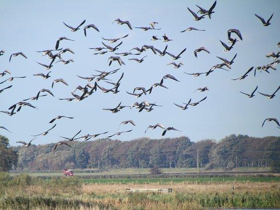 Burscough, UK: Pink footed geese